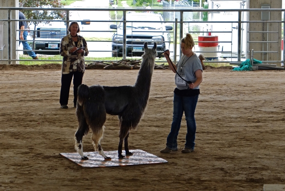 Llama standing on a square