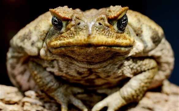 cane toad1