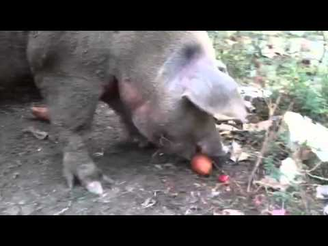 Here is a pig stealing a potato. Alert the media.