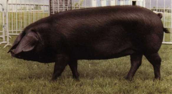 A Cornwall Black pig